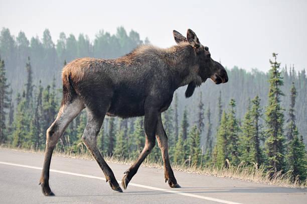 Wild moose crossing the road, Denali national park, Alaska stock photo