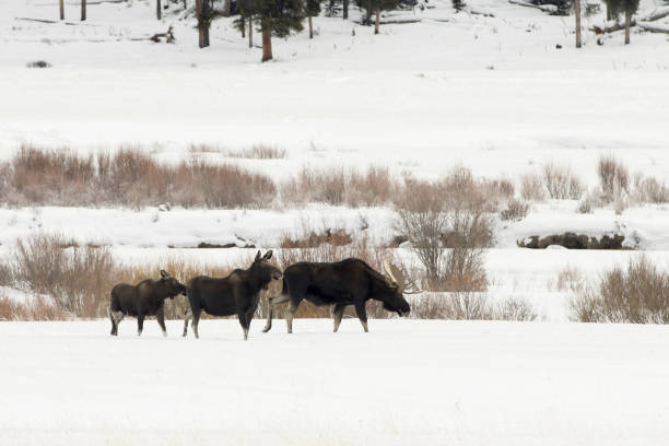 In a row walking in the snow, a wild bull moose with large antlers walks with a sow and calf across the snowy Round Prairie valley with the willow filled Soda Butte Creek in Yellowstone National Park, Wyoming