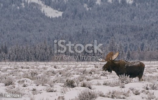 Wild Moose in the winter at Christmas time in the Grand Tetons National Park and Yellowstone National Park area. As the snow forms a thick blanket across the Tetons Range, wildlife becomes more visible and the scenery more dramatic than then the busy summer season.