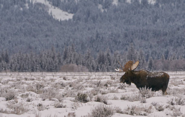 Wilder Elch im Winter zu Weihnachten im Grand Tetons National Park und Yellowstone National Park USA – Foto