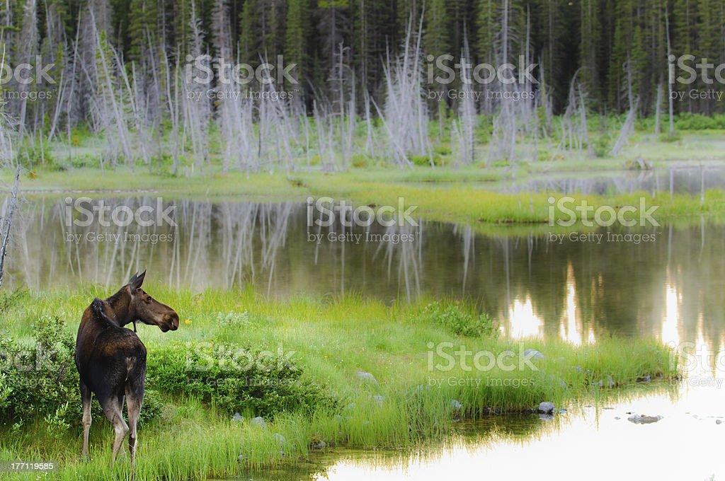 Wild Moose stock photo