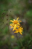 Wild mountain Arnika flower