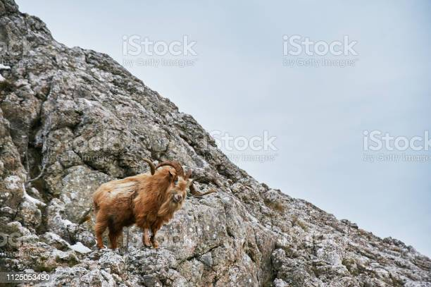 Photo of wild mountain brown goat with big horns stands at rock and looks in camera