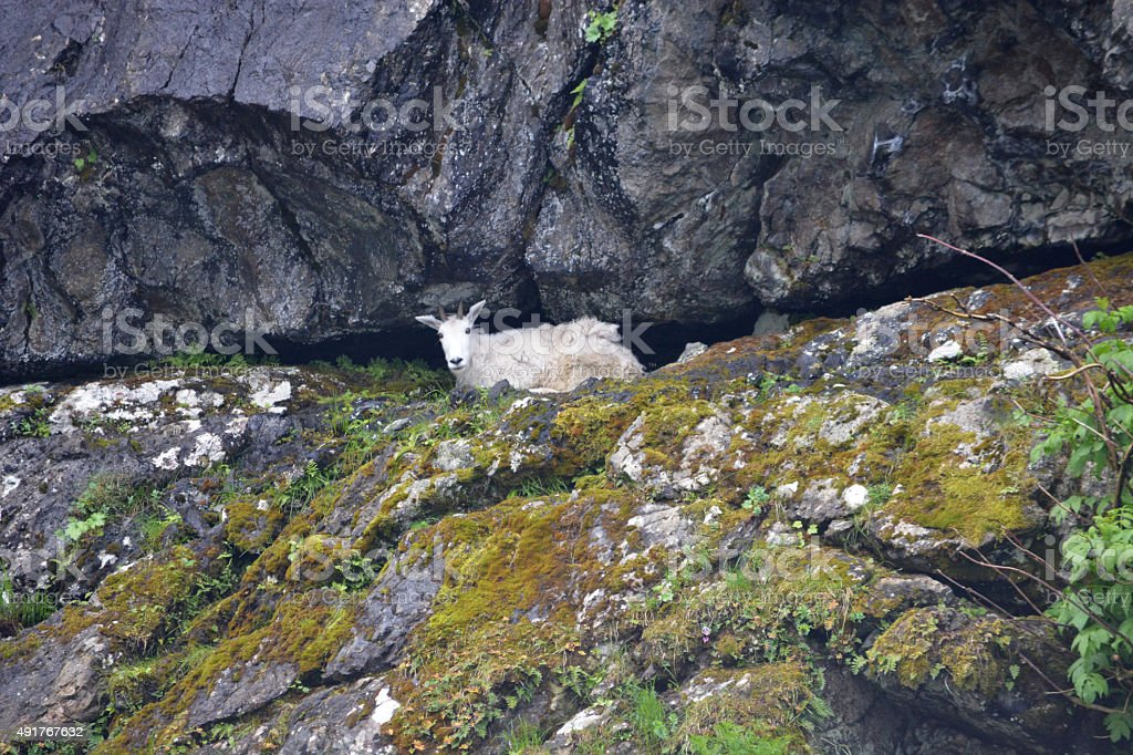 Wild Mountain Goat Relaxing in a Cliff stock photo