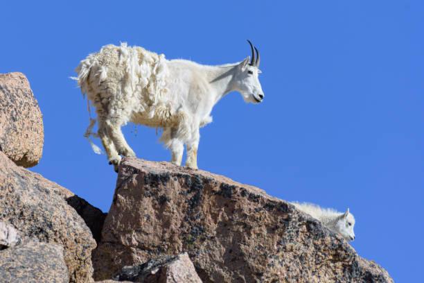 wild mountain goats of the colorado rocky mountains - outcrop stock pictures, royalty-free photos & images