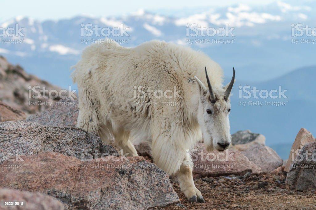 Wild Mountain Goats of the Colorado Rocky Mountains stock photo