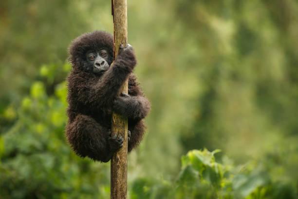 gorila de montaña salvaje en su hábitat natural. - gorila fotografías e imágenes de stock