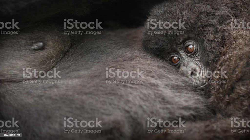 Wild mountain gorilla in the nature habitat. stock photo