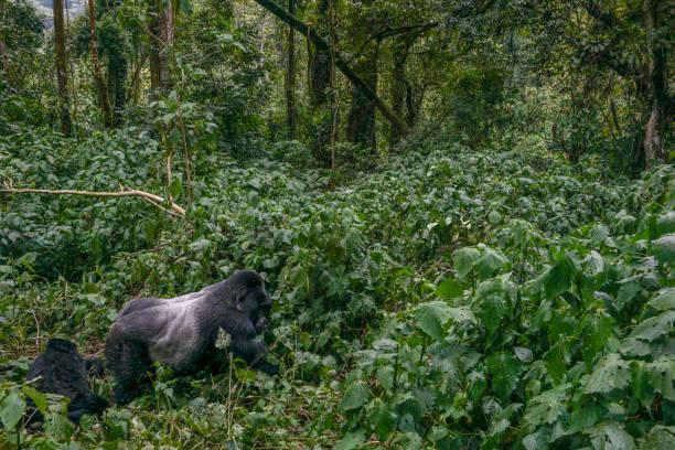 Wild Mountain Gorillas in Uganda's Bwindi National Park of East Africa stock photo