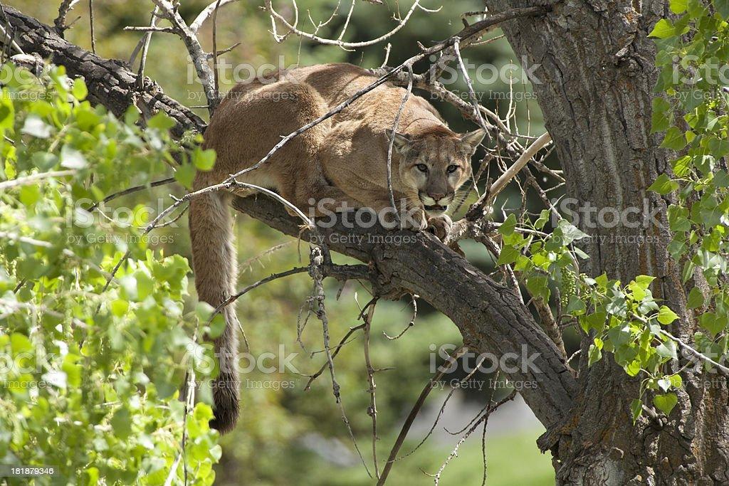 Wild mountain lion in cottonwood Morrison Colorado royalty-free stock photo