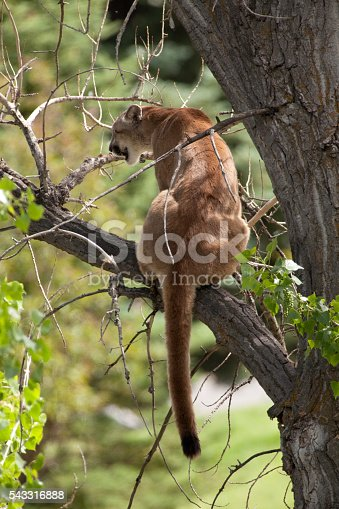Looking out from his perch in a cottonwood tree, a young male mountain lion (Colorado Division of Wildlife Staff suggested a two year old) dangles his thick tail in the foothills of Morrison, Colorado.