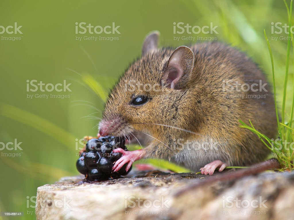 Wild mouse eating blackberry on log stock photo