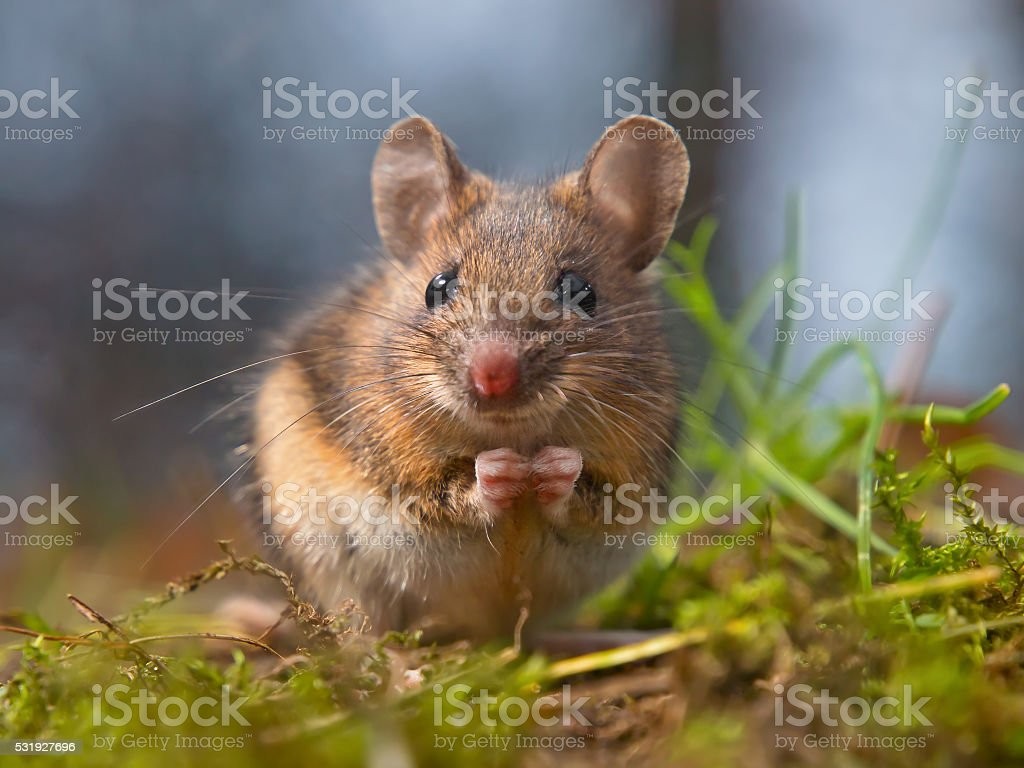 Wild mouse sitting on hind legs stock photo