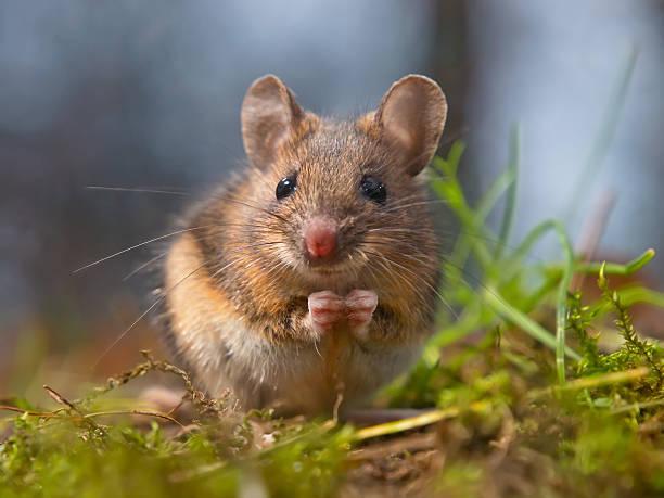 Wild souris assis sur hind des jambes - Photo