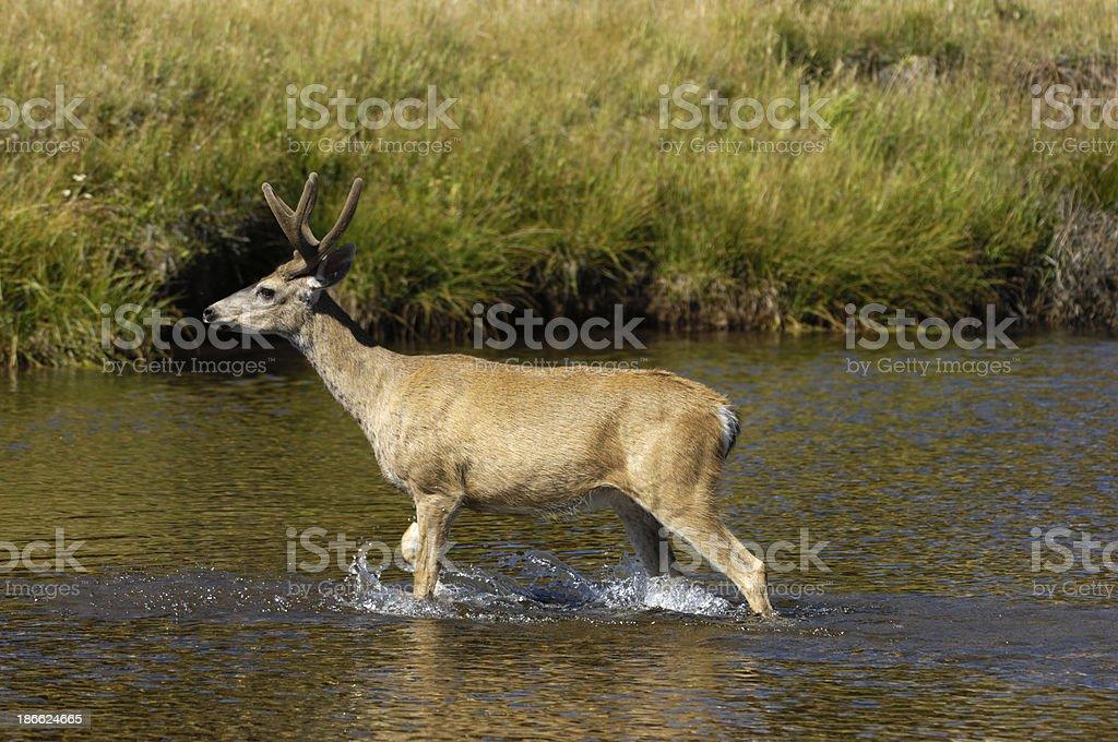 Wild Mule Deer Crossing River royalty-free stock photo
