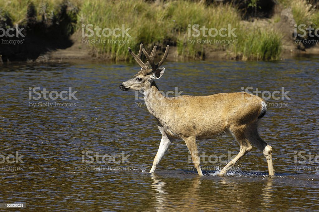 Wild Mule Deer Crossing River royalty-free stock photo