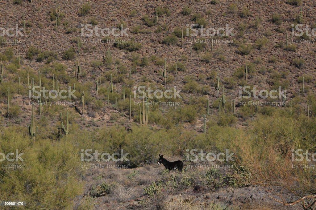 Uma mula selvagem no deserto - foto de acervo