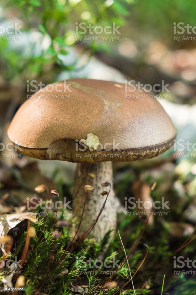 Wild mushroom growing in the forest stock photo