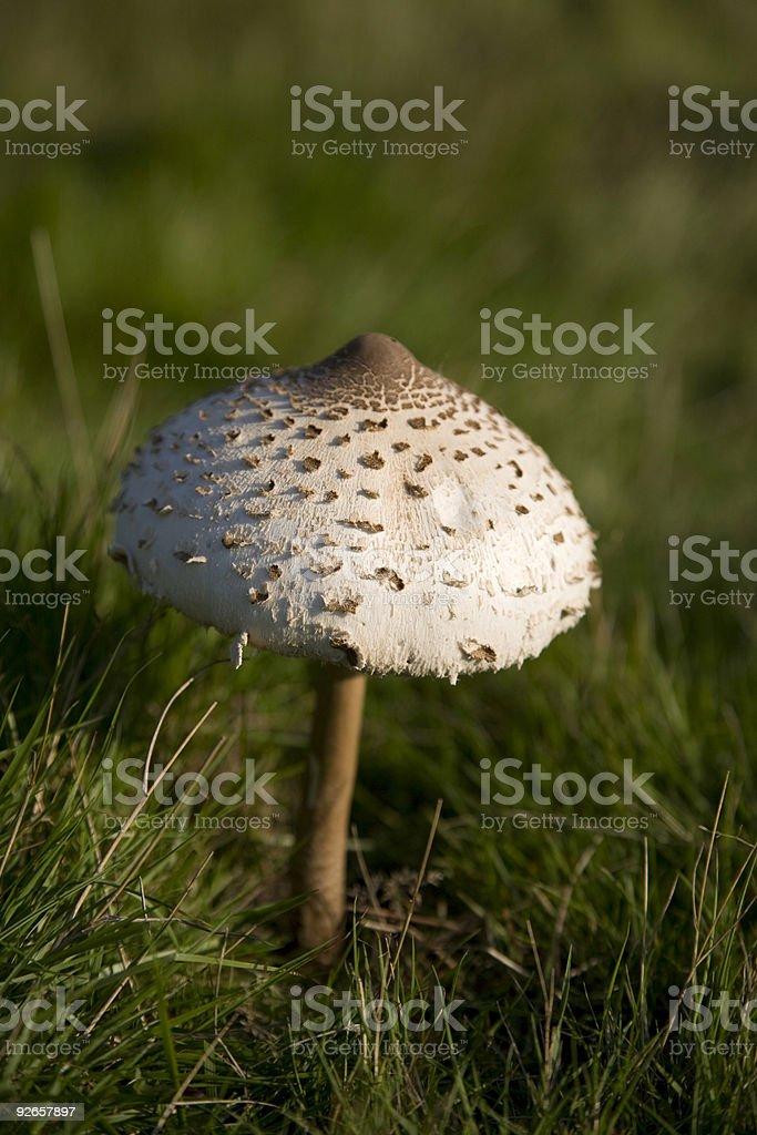 Wild Mushroom royalty-free stock photo