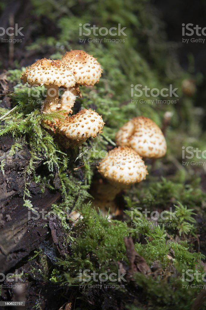 Wild mushrooms Armillaria stock photo
