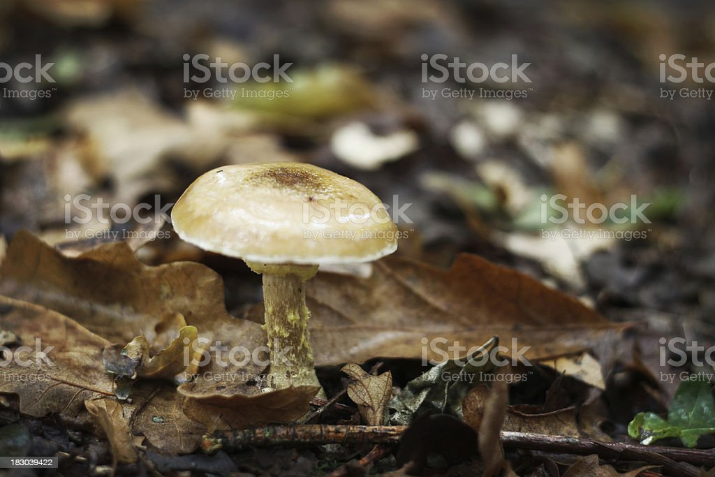 Wild mushrooms growing in an English forest royalty-free stock photo