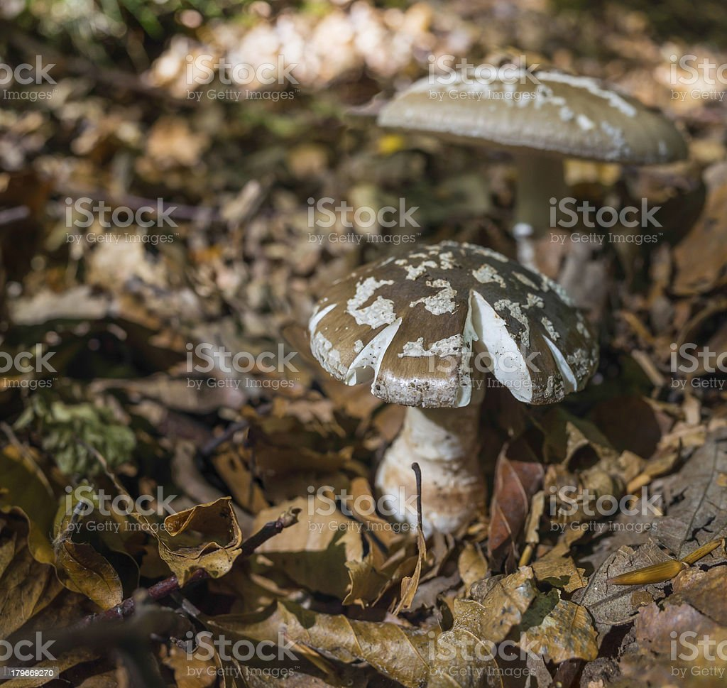 Wild mushrooms growing in forest glade through leaf litter royalty-free stock photo