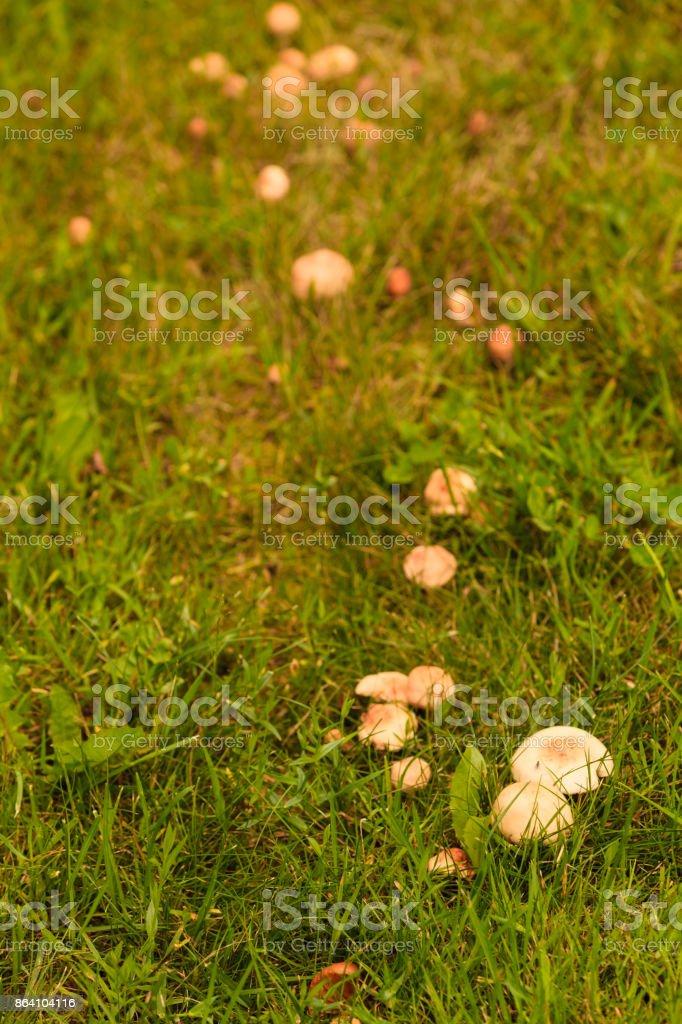 wild mushrooms growing in green meadow royalty-free stock photo
