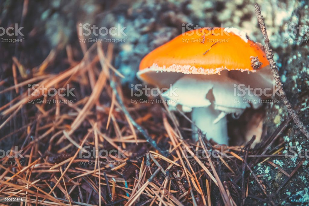 Wild Mushrooms in the forest in autumn stock photo
