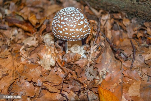 Amanita pantherina, also known as the panther cap and false blusher. Small young example. Toxic!