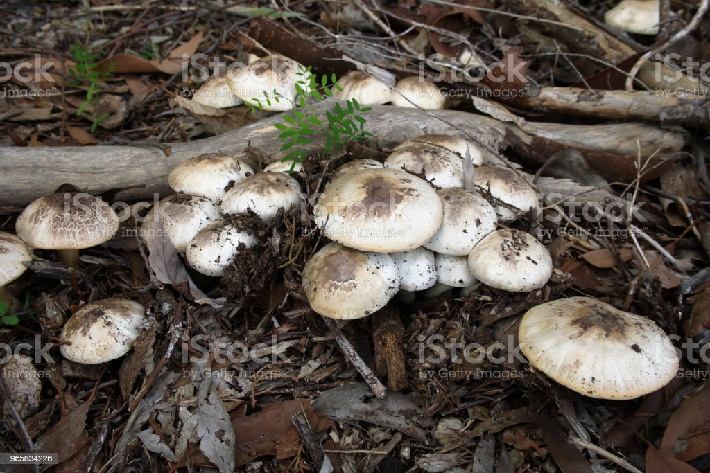 Wild Mushrooms - Royalty-free Australia Stock Photo