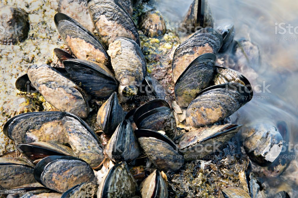 Wild mussels on rock. Close up. stock photo