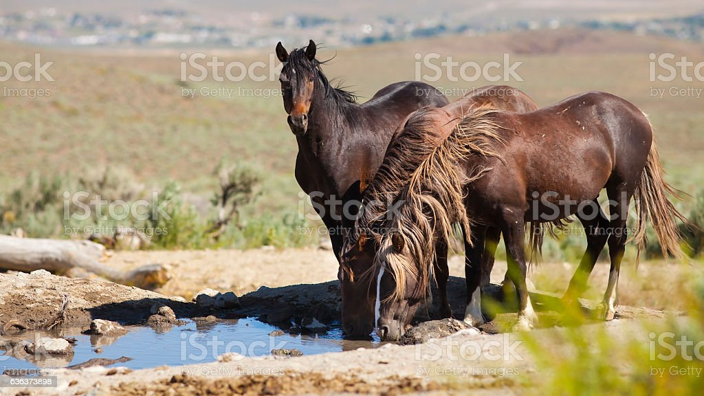 Wild Mustang Horse in the Nevada desert. stock photo
