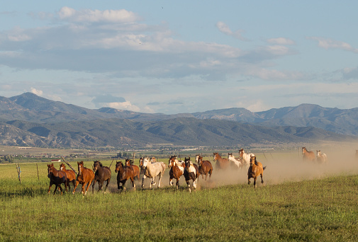 Wild mustang horses running at prairie at santaquin Salt lake City SLC Utah USA