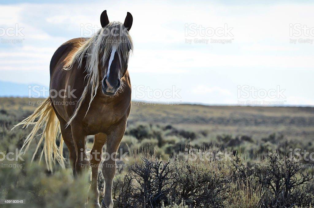 Wild Mustang stock photo