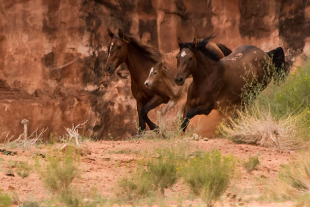 Wild mustangs and colt in motion stock photo