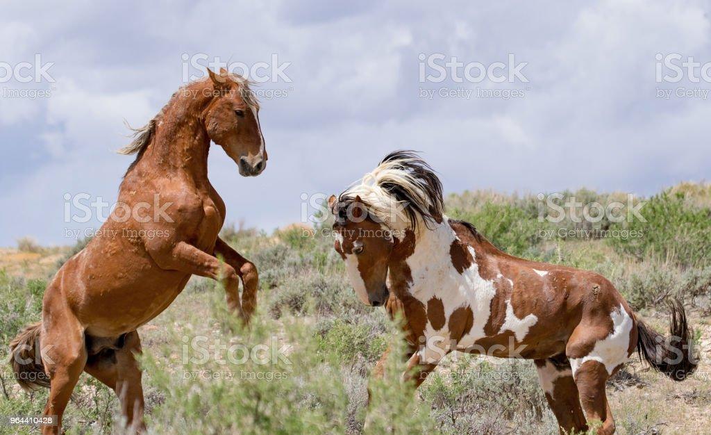 Mustangs selvagens do oeste americano - Foto de stock de Animal royalty-free