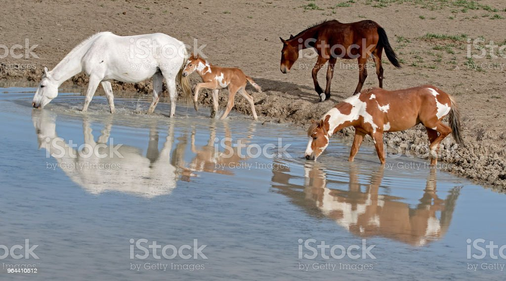 Wild Mustangs of the American West - Royalty-free Animal Stock Photo