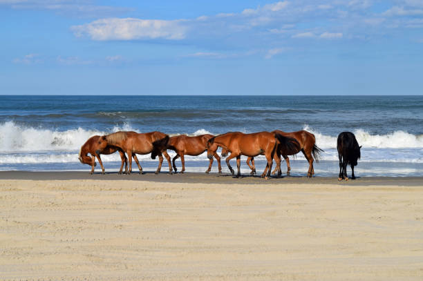 Wild mustangs on beach picture id1161459714?b=1&k=6&m=1161459714&s=612x612&w=0&h=ojhfpoqqhm62d sl830pzwlchk2gsehnneiumnwe0n0=