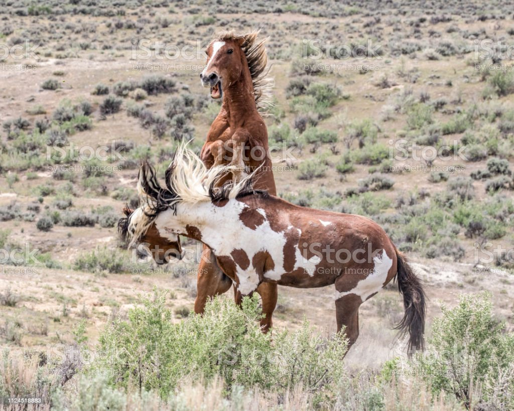 Wild Mustangs Picasso And Voodoo Battling Stock Photo Download Image Now Istock