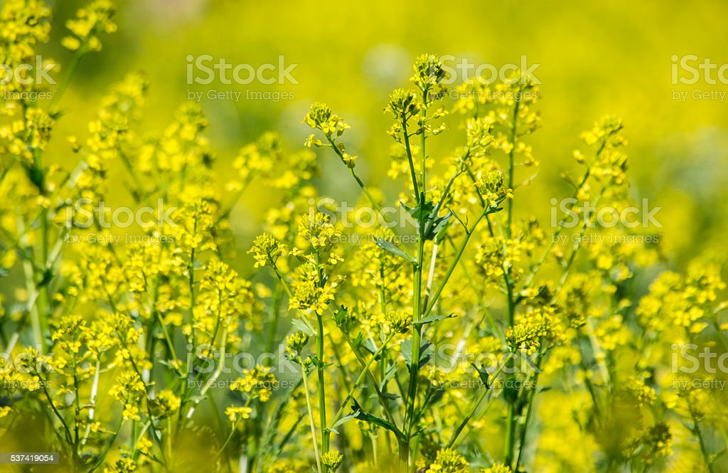 Wild Mustard Flowers stock photo