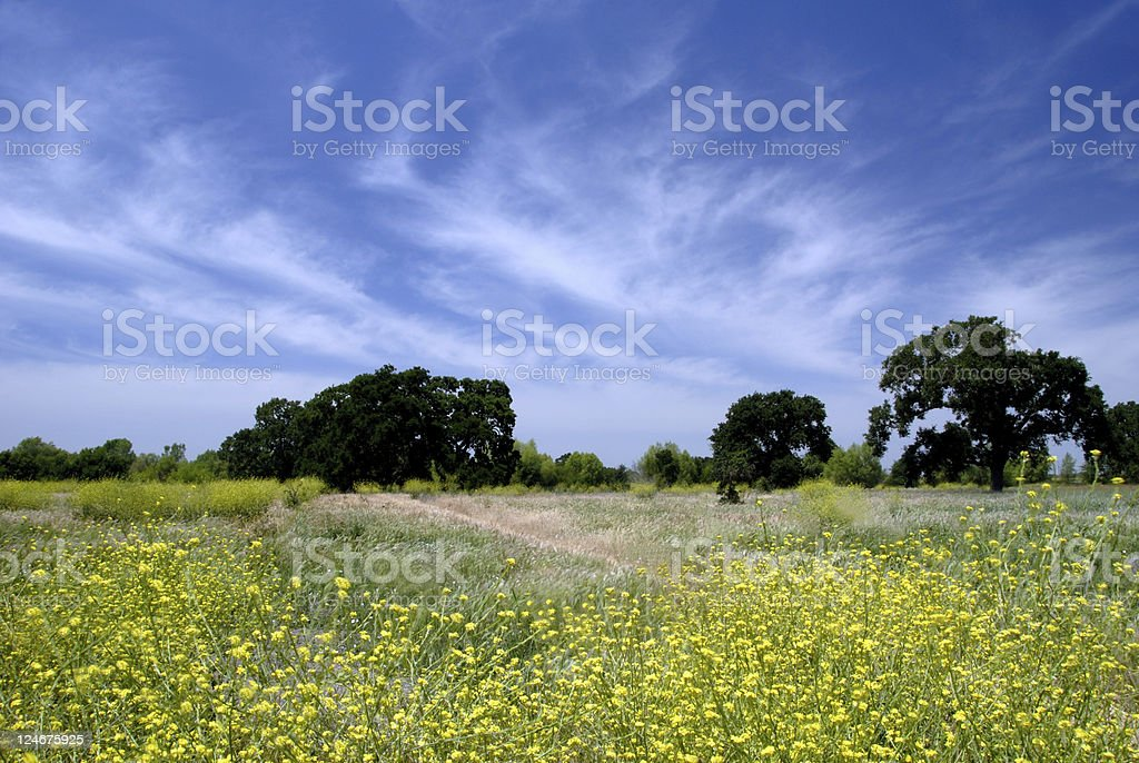 Wild Mustard Under White Clouds stock photo