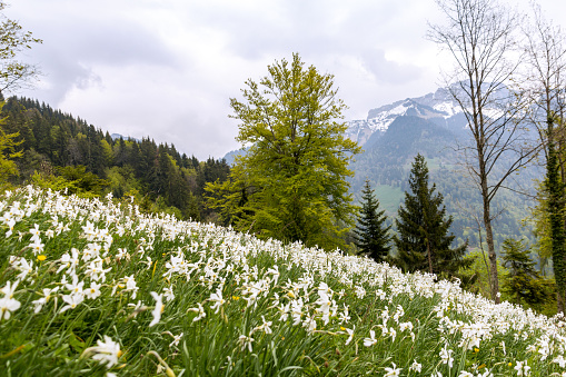 Wild narcissus flower (narcissus poeticus) at the Swiss Alps moutain in vaud riviera over Montreux