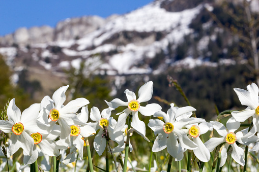 Wild narcissus flower (narcissus poeticus) with snow-capped Swiss Alps mountain