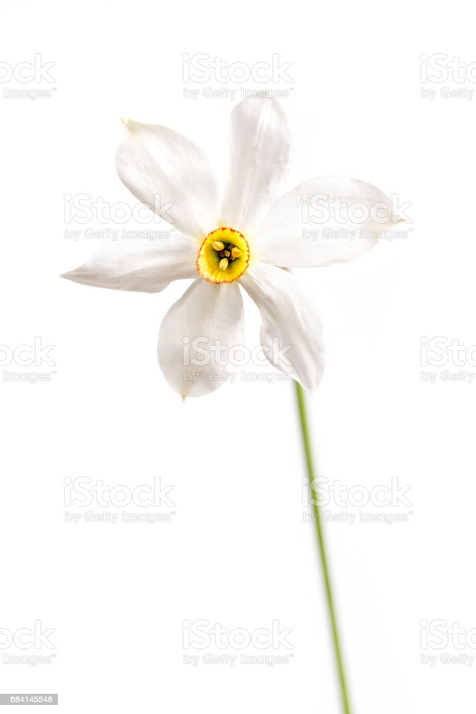 Wild Narcissus Stellaris. royaltyfri bildbanksbilder