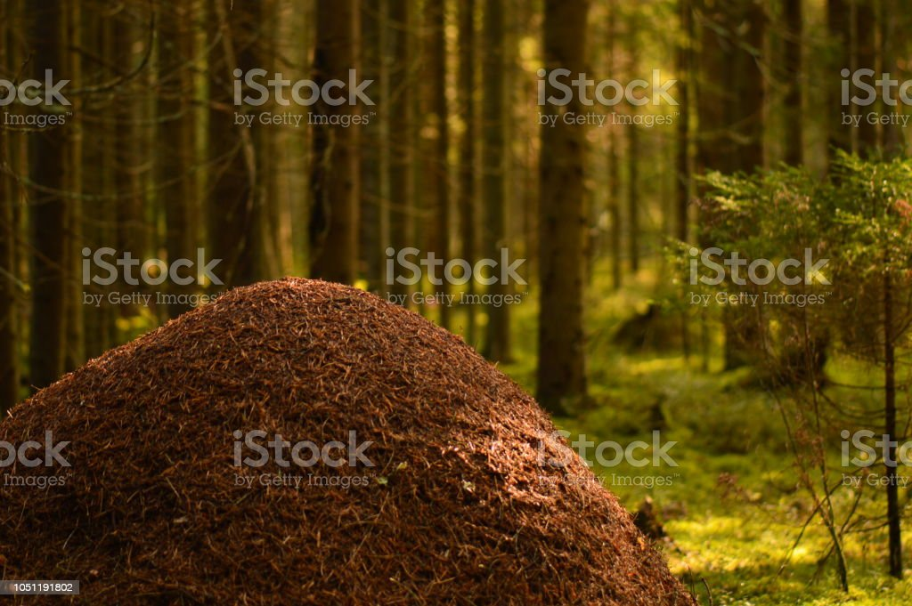 Wild nature of the anthill against the background of coniferous forest trees in the light of the morning sun stock photo