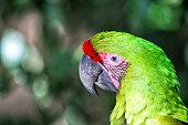 Scarlet macaw portrait on bokeh background