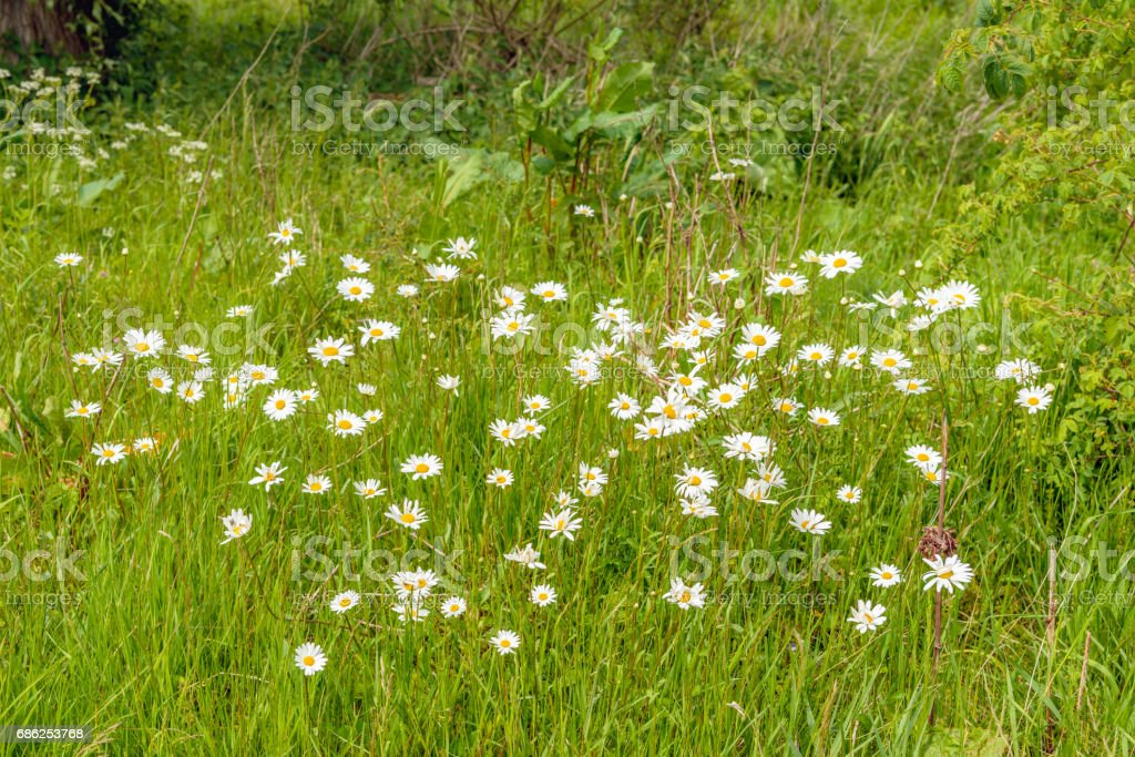 Wild nature with oxeye daisies in bloom stock photo