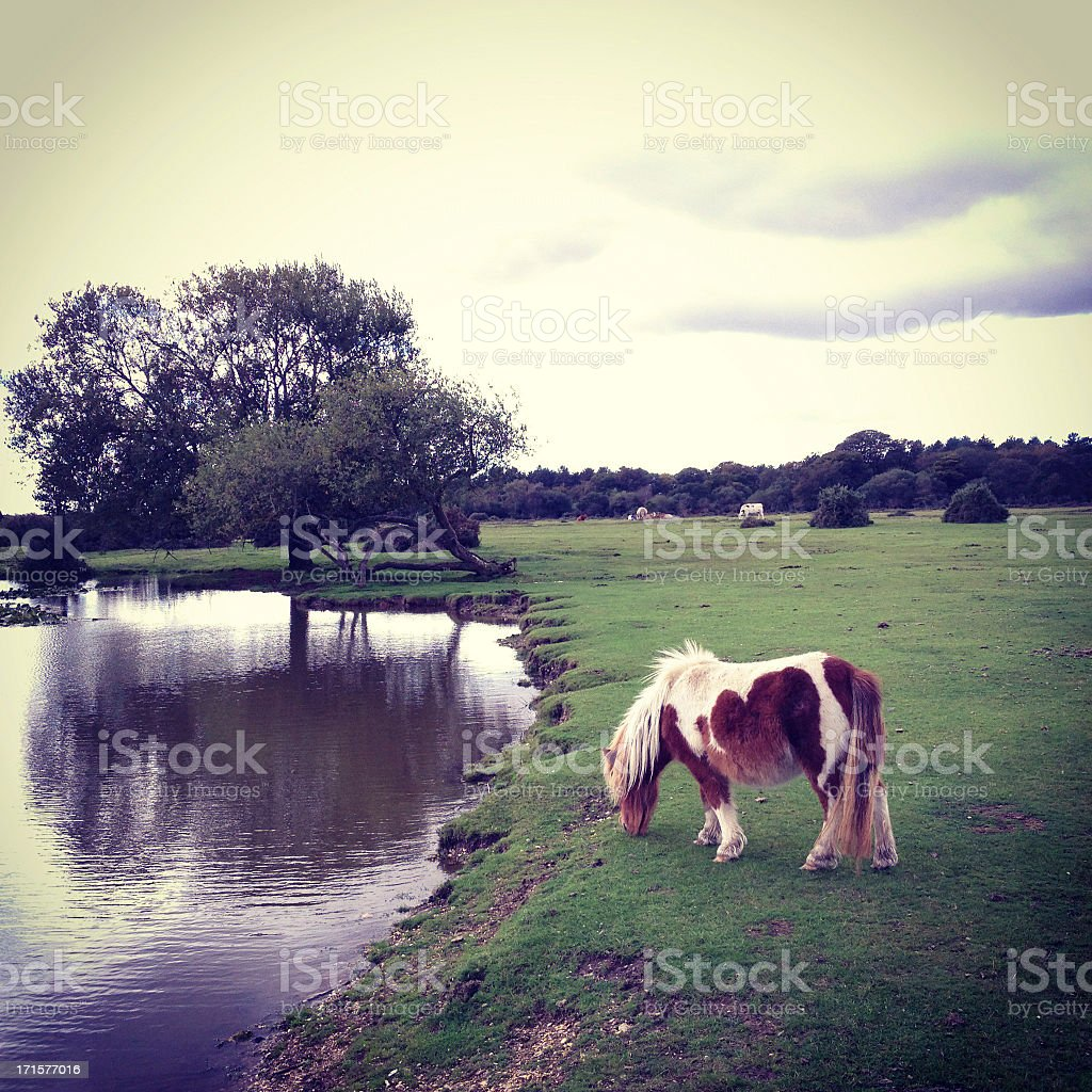 Wild New Forest pony eating grass by the moat stock photo