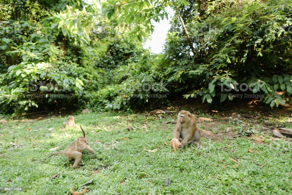 Wild nice monkeys sitting on grass and eating coconut royalty-free stock photo