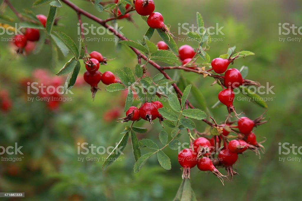 Wild Nootka Rose hips on a branch. stock photo